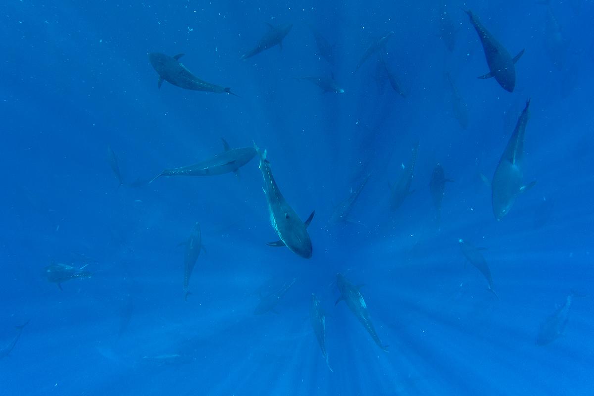 Feed the tuna